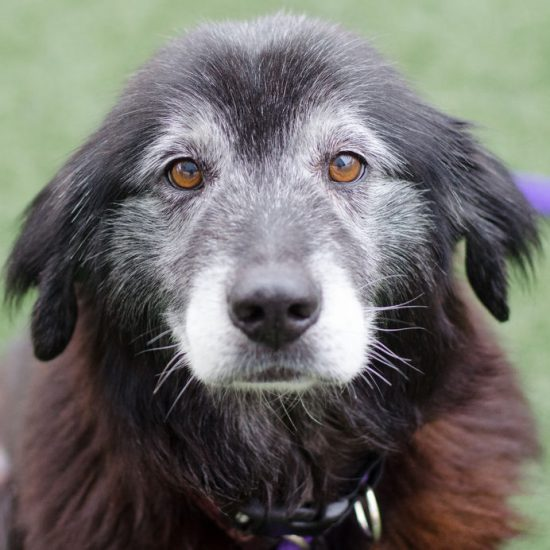 Senior dog with gray snout and eyes