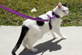 white and black cat looking to the side wearing harness and leash