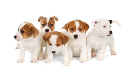 National Puppy Day Jack Russell puppies
