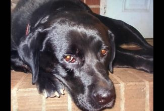 Black labrador retriever with golden eyes. Close-up of face, dog laying on porch. Lamby
