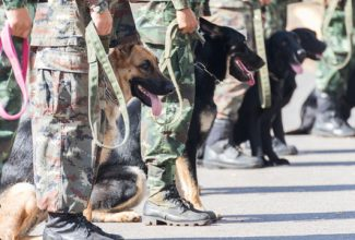 Close up of war dogs in training with their military handlers in combat fatigues