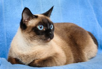 Close up of pretty, blue-eyed siamese cat