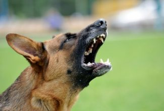 """How to Prevent Dog Bites, Part 1: Owner Responsibility If you ask dog owners how to prevent dog bites, many will say that their dog doesn't bite, so it's not an issue for them. Every responsible dog owner understands that they are responsible for the behavior of their dog, including whether it bites someone. Yet these same pet owners often dismiss concerns about potential dog bites by saying, """"Oh, my dog would never do that. He's never bitten anyone and never will."""" There is a first time for everything, including the first time your beloved family pet bites someone. If you're very fortunate, the damage won't be severe, but once a dog bites someone it's never fully trusted again by others. If the damage is serious, you may be forced to surrender your dog or have it put down. This kind of heartache can be avoided if you know how to prevent dog bites in the first place. It's a complex issue and are actually two separate issues: preventing your dog from biting, and protecting your family from dog bites from unfamiliar dogs. While the primary responsibility lies with dog owners, everyone should teach their children how to avoid getting bitten. Owner Responsibility: Prevent Dog Bites with Proper Training Regardless of how cute and cuddly your dog is, he has the potential to bite someone, particularly if they are fearful or threatened. The best time to train your pet not to bite is when he is a puppy. Puppies bite playfully as they grow to explore the world around them. They also chew on a lot of things, so you'll need to teach them when biting is acceptable and when it isn't. There are several things you can do to curb a puppy's tendency to chew, nip or bite: • Raise your voice. You don't need to shout, but be loud enough that it will get your dog's attention. Each time your puppy bites you, even playfully, sternly saying """"Ouch!"""" will let him know that he needs to stop. • Reward your puppy whenever he stops biting by playing with him or giving him a few minutes of your un"""