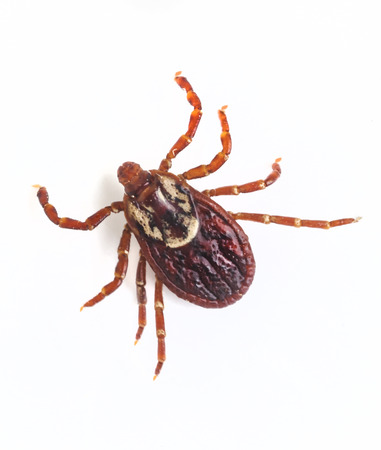 Deer tick on white ground, Lyme Disease carrier