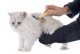 Brushing your long hair cat can minimize the incidence of hairballs and intestinal blockage.