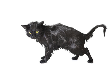 Angry, wet cat after a bath, cat baths make cats uncomfortable.