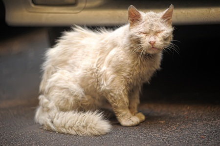 Cat in pain with dull coat