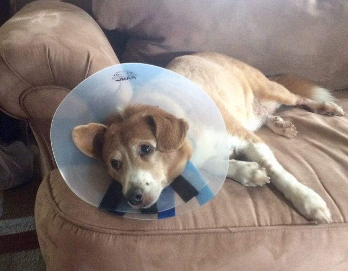 Seasonal pet allergies mean cone of shame for many dogs