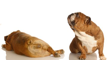 English bulldogs, farting dogs, dogs farting