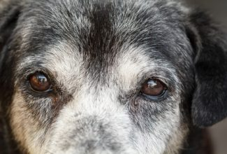 Black Labrador Retriever Black Labrador Retriever, senior dog