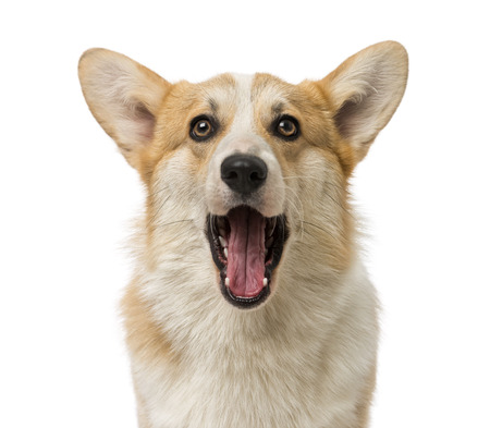 Corgi barking behavior, Corgi with mouth open
