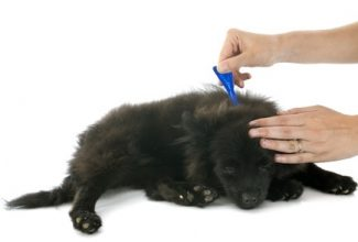 Topical flea preventatives on black dog