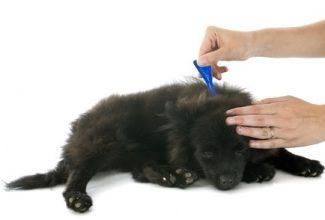 Topical flea preventatives on black dog