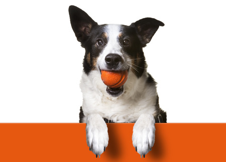Toys for Fetching. black and white dog fetching a red rubber ball