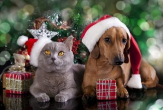 Include your pets in the holiday festivities like these pets: british kitten and dog dachshund