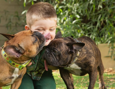 Dog myths - two bulldogs licking little boy sitting outdoors
